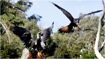 Red-tailed Black Cockatoos - Taronga's free bird flight show